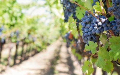 Descubre los viñedos