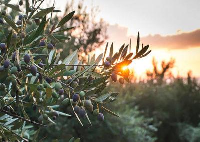 Vue sur les oliviers et le couhcer de soleil.